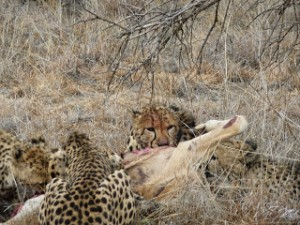 IE3 Cheetah Conservation Fund- Namibia
