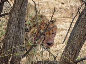 Namibia IE3 Cheetah Conservation Fund