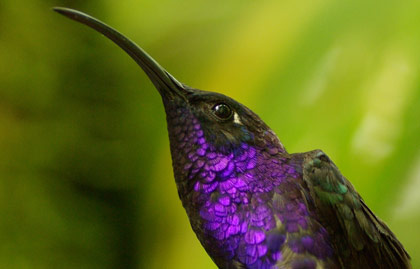 Purple throated bird in forest