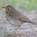 Swainson's Thrush, brown bird on the ground
