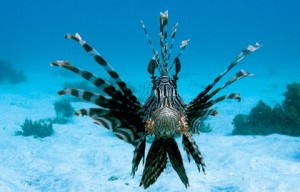 """This lionfish (Pterois volitans) swam to within six inches of the camera as the shot was taken. """"We think that he saw his reflection in the glass and was trying to scare off his 'rival,'"""" says Robbie Wisdom. (Photo: Daniel Wisdom)"""