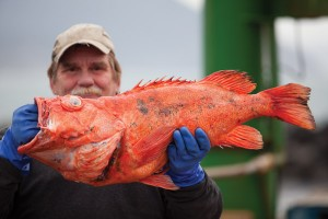 Port Orford dock worker Faron Busso holds a rougheye rockfish, one of many species that live in the temperate reefs off the southern Oregon Coast. (Photo: Heath Korvola)