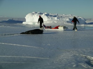 In 2007, Horning's research team studied Weddell seals in Antarctica. Here, they leave a seal to recover while they remove equipment before the ice melts. (Photo: Markus Horning. Research Permits NMFS #1034-1854; ACA #2007-007).