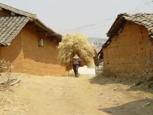 During the dry season, farmers carry fodder home for livestock to eat. (Photo: Jenna Tilt)