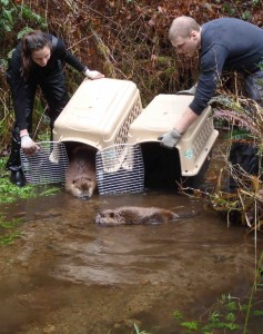 Vanessa Petro and XXXXX have released 38 beavers in the Alsea River. (Photo courtesy of Vanessa Petro)