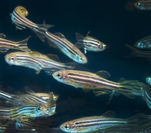 Zebrafish (Photo: Lynn Ketchum)