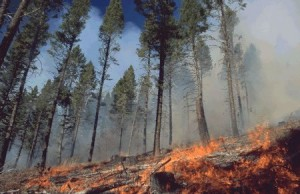 Ground fire behavior in an open Ponderosa pine stand. (Photo: Kari Greer. Courtesy of the Northern Rockies Incident Information Center.)