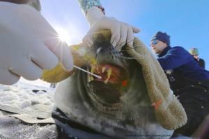 Rachel Berngartt, veterinarian, takes an oral culture from a Weddell seal. (Photo: Henry Kaiser)