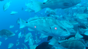 Laser beams are used to measure groupers in the Grouper Moon study. (Photo: 2009 Brice Semmens, Grouper Moon Project)