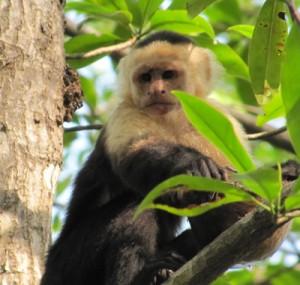 Capuchin-Monket-in-Rhiz-CR-2
