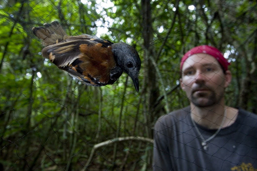 Randy Moore prepares to gently remove a xxxxxx from a mist net on Barro Colorado Island in the Panama Canal. (Photo: Christian Ziegler)
