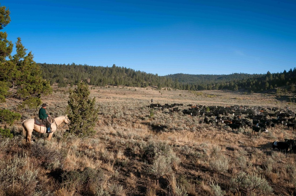 """Brett Starbuck trails cattle from the west summer range to the mountain ranch for fall rake-bunched hay. """"It's several miles for the cattle to walk, but the food is good when they get there,"""" says Susan Doverspike."""