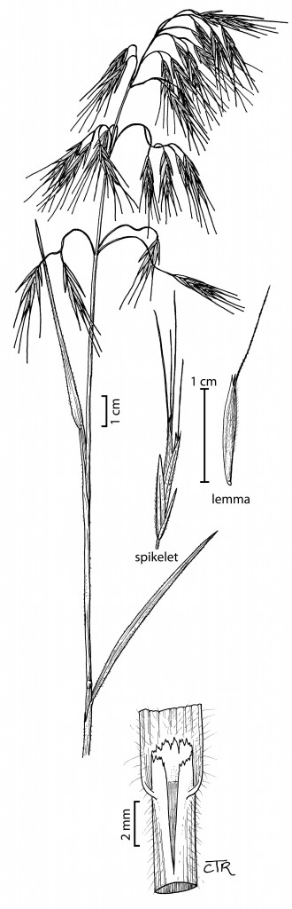 Bromus tectorum copy-small