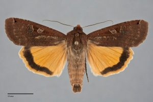Large Yellow Underwing moths can be recognized by the distinct pattern and coloration on the hindwing.