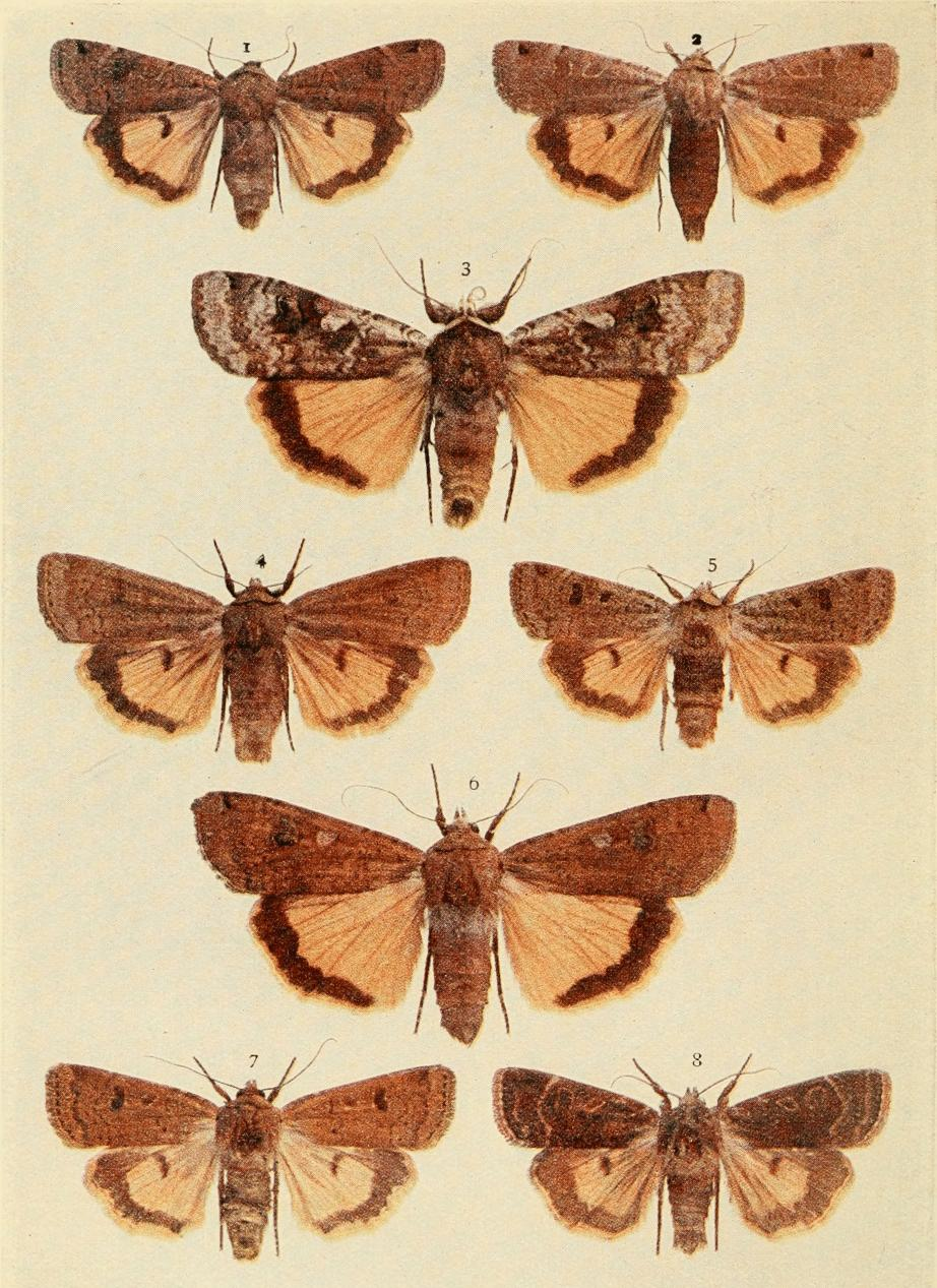 Yellow underwing moths