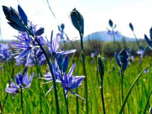 Purple camas flowers, the tubers were a Kalapuya staple