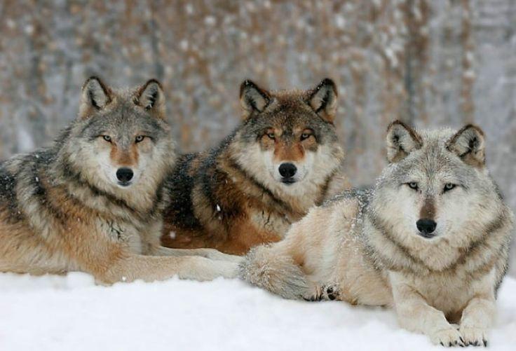 wolf-pack-yellowstone