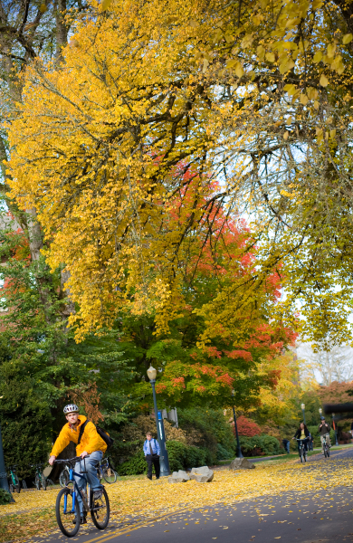 OSU Fall Image with Bicyclist and Yellow Tree