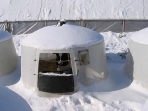 A Holstein calf stands in a round calf hutch with several inches of snow.