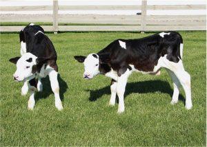 two hornless calves on mowed grass