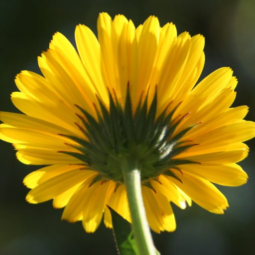 Calendula flower.