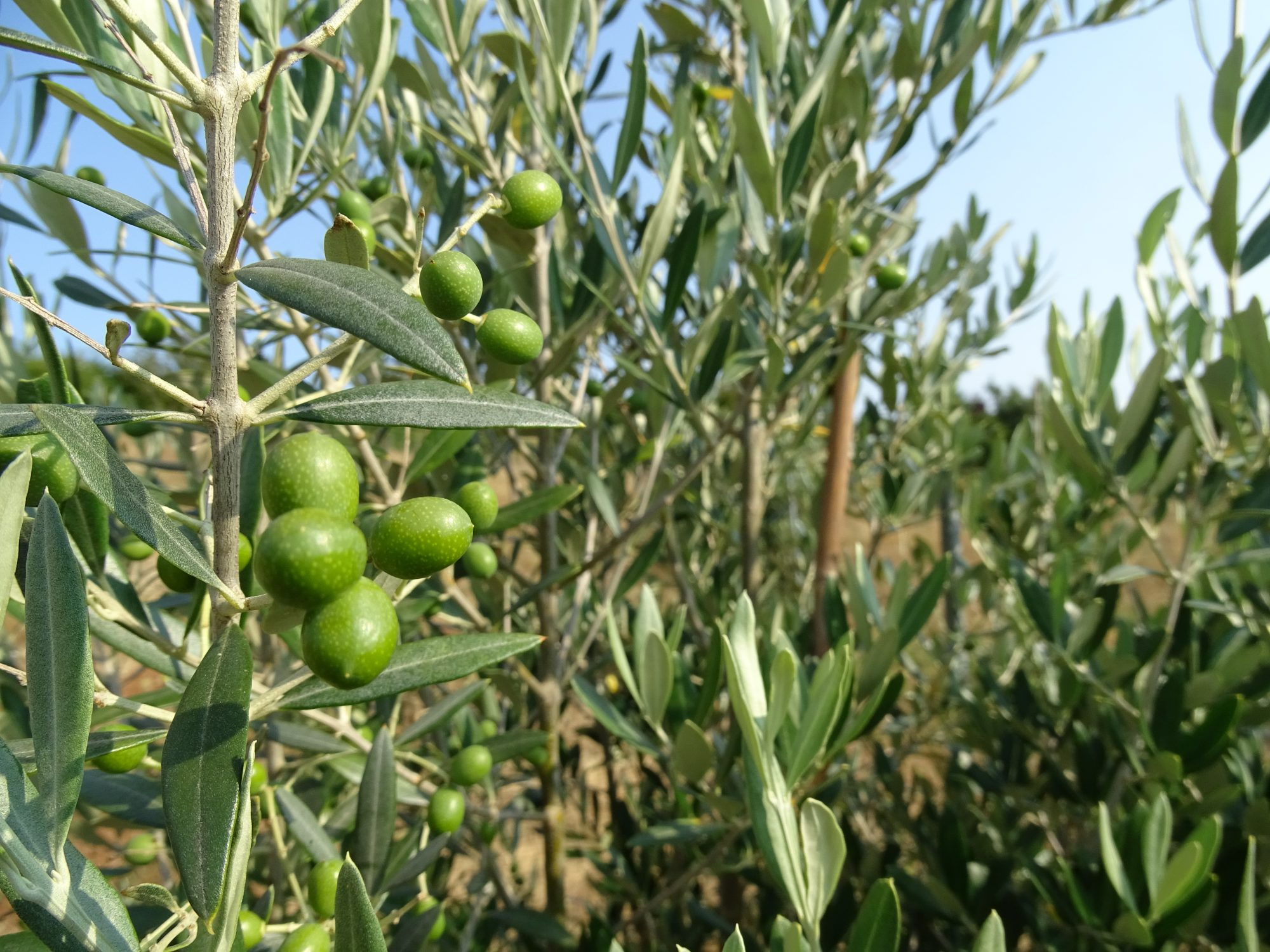 Olive Research & Evaluation (ORE)