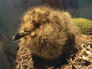 Murelet-Chick-copy