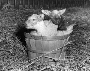 Wanda Gifford picture of lambs