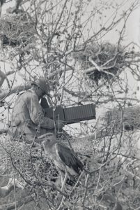 William Finley photographing heron nests.