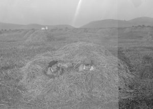 Finley and Bohlman concealed in a haystack next to a heron rookery. San Francisco, CA, 1904. OHS Research Library, Org. Lot 369, Finley A525.
