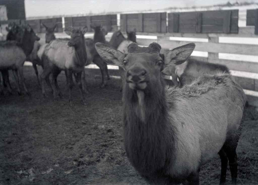 An elk waiting in a corral in Saint Anthony, Idaho, 1912. OHS Research Library, Org. Lot 369, Finley B0415.