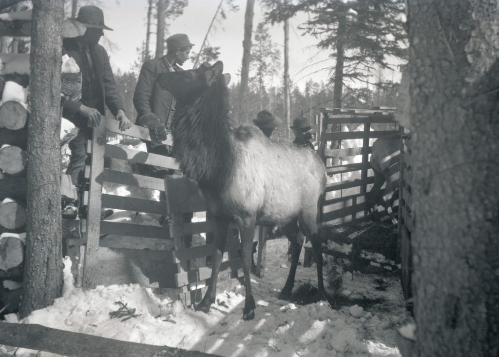 Men standing by a fence watching elk as they are unloaded from crates into a holding corral at Billy Meadows. Wallowa Mountains, Oregon, 1912. OHS Research Library, Org. Lot 369, Finley B0506.