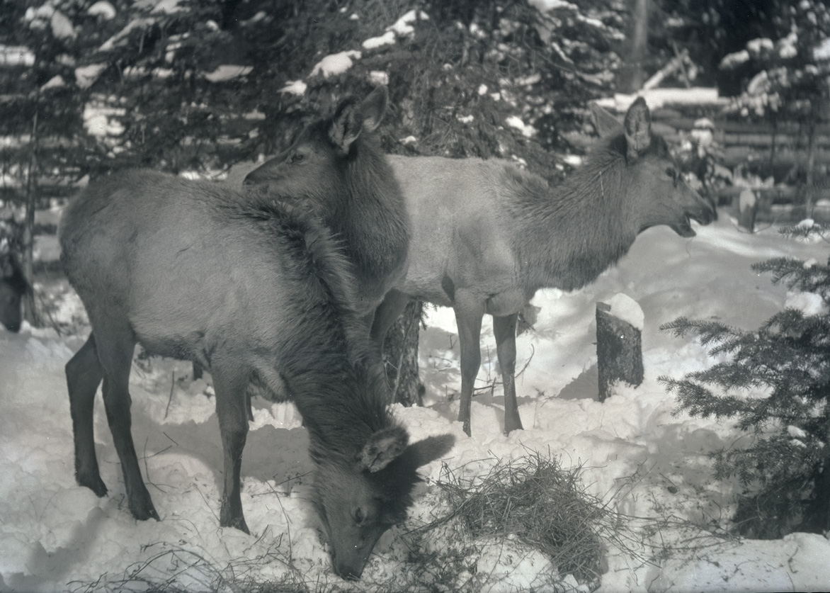 A herd of elk standing in the snow at Billy Meadows after being released at the end of their journey from Wyoming. Wallowa Mountains, Oregon, 1912. OHS Research Library, Org. Lot 369, Finley B0510.