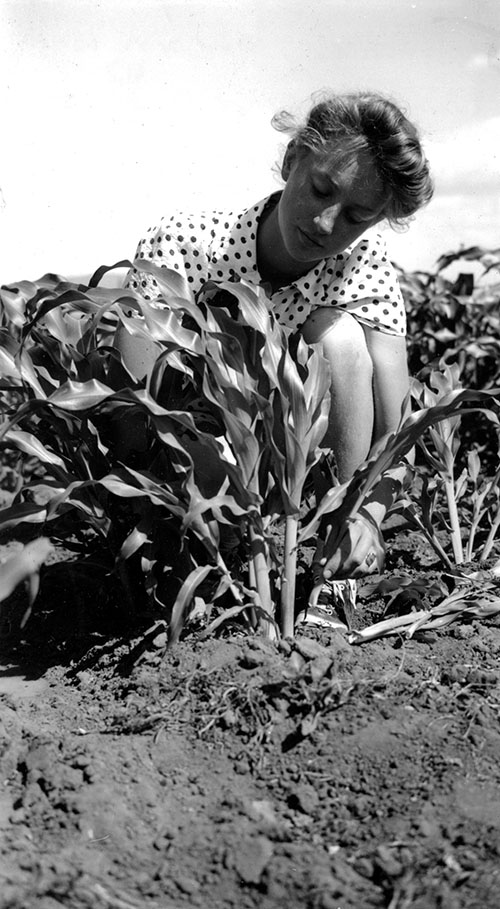 The suckering of corn was a common practice in the Victory Gardens grown in the county that year. Muriel White, a member of the 4-H Victory Garden Club, shows the proper way to do the job. Photo was used in the 1942 Klamath Annual Report.