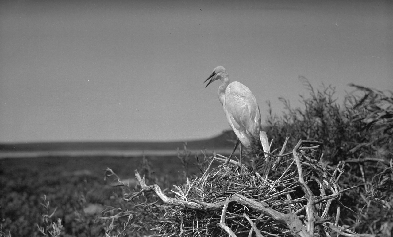 An egret in its nest near Silver Lake, Oregon, 1912. OHS Research Library, Org. Lot 369, Finley B0200.
