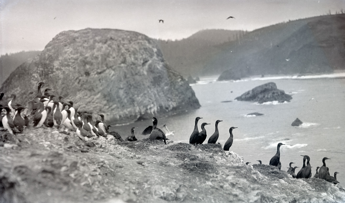 A flock of cormorants and murres perched on the rocks and Three Arch Rocks near Oceanside, Oregon, 1912. OHS Research Library, Org. Lot 369, Finley B0815.