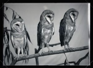 Barn Owls, William L. Finley Photographs Collection, circa 1900-1940 (Org. Lot 369, OHS)