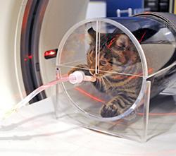 Feline Hyperthyroid Study Uses Ct To Improve Treatment