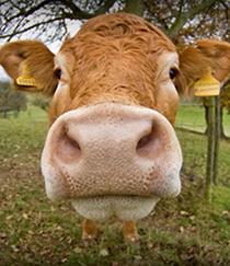cow_face