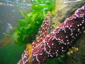 Tide Pool Sea Star