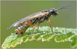 green alder sawfly adult
