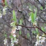 Indian plum flowering