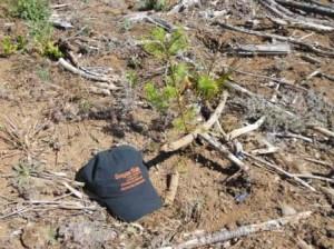 Doug-fir seedling enjoying weed-free start