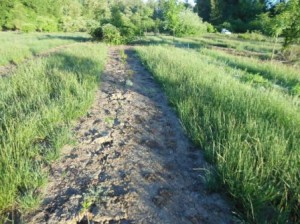 A weeded planting strip in a riparian planting