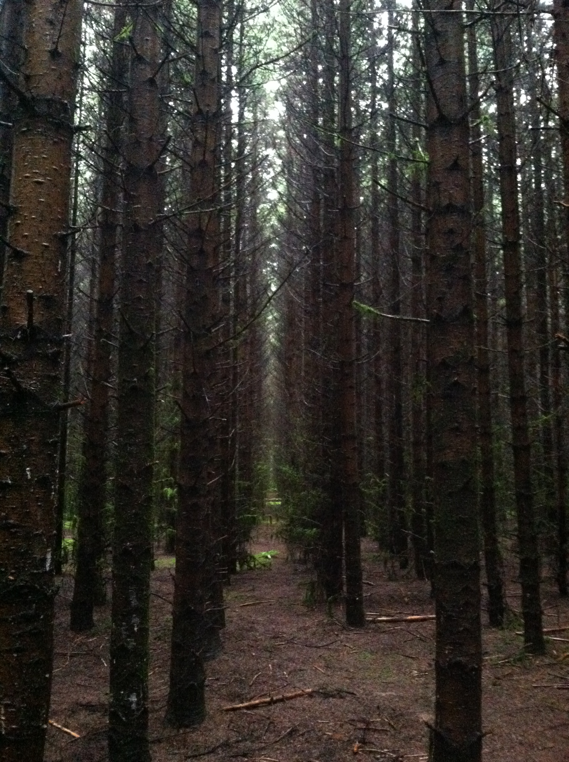 Contending with overgrown Christmas trees - TreeTopics
