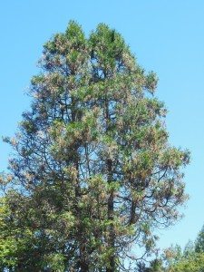 A ratty-looking incense-cedar near Corvallis