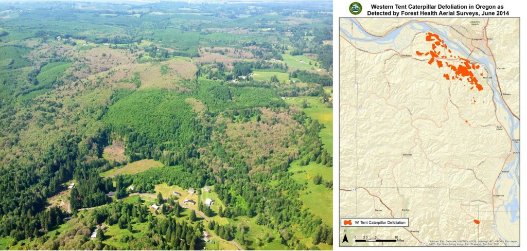 Map and aerial view showing extent of western tent caterpillar defoliation, early June. Affected areas are brown in the photo. Source: Oregon Department of Forestry