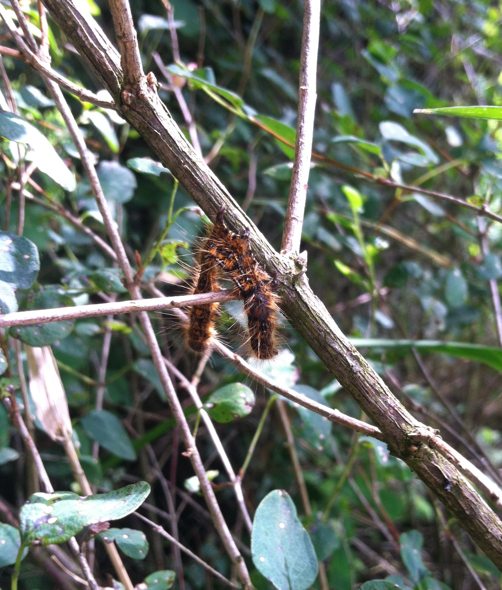 Western tent caterpillars infected by a virus hang in an upside-down V. & The boom-and-bust life of defoliating insects - TreeTopics
