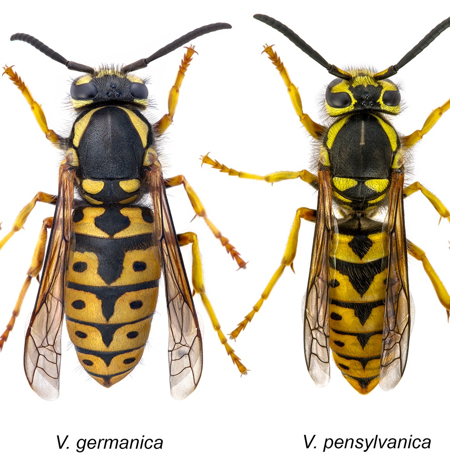 What Is The Difference Between A Yellow Jacket And A Wasp Giant Yellow Jacket Qu...