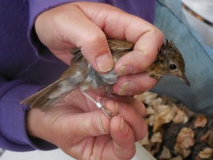 Measured and wearing a new bracelet, this Swainson's thrush is ready to go!